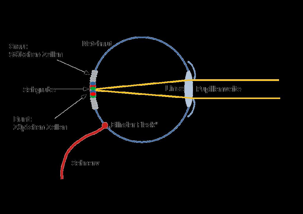 Das Auge - Sehen bei Tag und bei Nacht